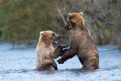 Two Alaskan brown bears playing Stock Image