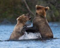 Two Alaskan brown bears playing Stock Photography