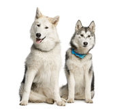 Two Alaskan Malamut, sitting and panting. Isolated on white Royalty Free Stock Image