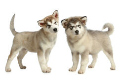 Two Alaskan malamute breed puppy (3 months) Stock Photos