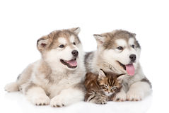 Two alaskan malamute dogs and maine coon cat together. isolated Royalty Free Stock Image