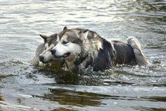 Two Alaskan Malamute dogs swim. Dogs of the Alaskan malamute breed swim well in the water Royalty Free Stock Photos
