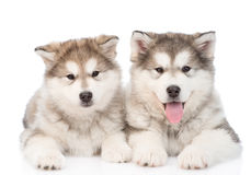 Two alaskan malamute puppies. isolated on white background Stock Image