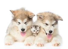 Two Alaskan malamute puppies lying with tiny kitten. isolated on white Royalty Free Stock Images