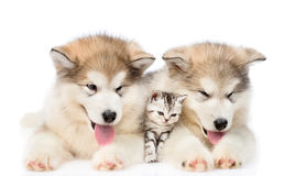 Two Alaskan malamute puppies lying with tiny kitten. isolated on white. Background Stock Image