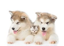 Two Alaskan malamute puppies lying with tiny kitten. isolated on white background.  stock photography