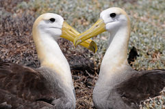 Two albatrosses put their heads in a form of heart. Two galapagos albatrosses put their heads in a form of heart royalty free stock images