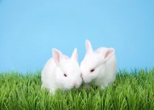 Two albino baby bunnies in green grass. Two adorable two week old albino baby bunnies in green grass with blue background stock photos