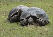 Two Aldabra tortoises eating Stock Image