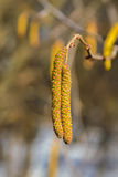 Two Alder Catkins Against The Forest. Royalty Free Stock Image