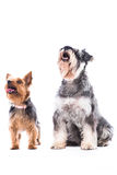 Two alert dogs waiting for treats Royalty Free Stock Photo