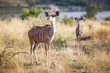 Two alert kudus walking in nature reserve Royalty Free Stock Photos