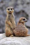 Two alert meerkats. Two standing alert mercats (Surikata Royalty Free Stock Photo