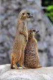Two alert meerkats. Two standing alert mercats (Surikata Royalty Free Stock Image