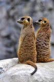 Two alert meerkats. Two standing alert mercats (Surikata Stock Images