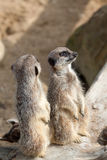 Two alert meerkats Stock Photography