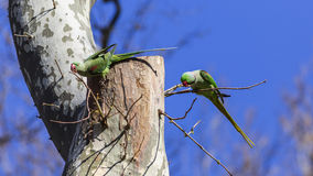 Two Alexandrine Parakeets on Tree. Two Alexandrine Parakeets (Psittacula eupatria) on tree Stock Images