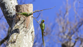 Two Alexandrine Parakeets on Tree. Two Alexandrine Parakeets (Psittacula eupatria) on tree are looking around Stock Images