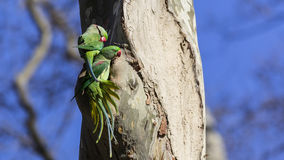 Two Alexandrine Parakeets on Tree. Two Alexandrine Parakeets (Psittacula eupatria) on tree trunk Royalty Free Stock Image