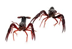 Two alive crawfish Royalty Free Stock Photography