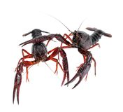 Two alive crawfish Royalty Free Stock Photos
