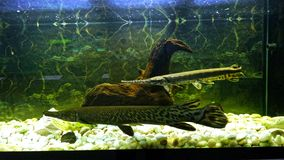 Two alligator fish in fresh water tank Stock Image