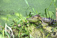 Two Alligator Hatchlings Royalty Free Stock Images