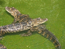 Two Alligators. Sitting in water in Florida Stock Photo