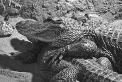 Two Alligators Royalty Free Stock Photography