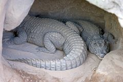 Two Alligators or crocodiles asleep in a cave stock images