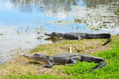 Two alligators lay near a lake Stock Photos