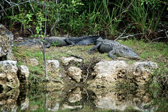 Two Alligators at rest on riverbank Royalty Free Stock Photos