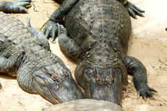 Two alligators sunbathing on sand Royalty Free Stock Photos