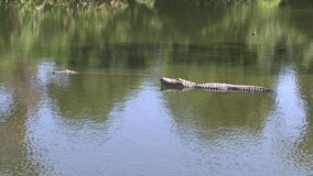 Two alligators in a swamp. Y Florida lake stock footage