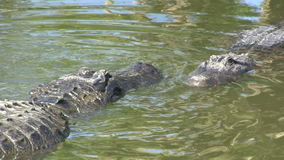 Two alligators in a swamp stock video
