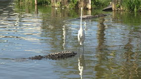 Two alligators in a swamp. Y Florida lake and a egret on top of a gator stock video footage