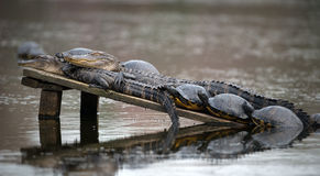 Two Alligators with Turtles Sunning. Isolated stock photo