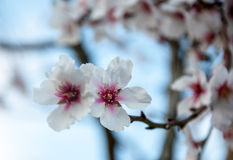 Two almond flowers. Stock Images