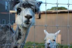 Two Alpaca Stock Photography