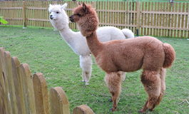 Two alpaca Royalty Free Stock Images