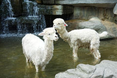 Two alpaca. Two white alpaca in the water Stock Photos