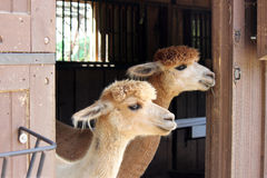 Two Alpacas. On a farm looking out of a barn door Royalty Free Stock Photography