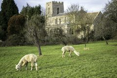 A pair of Alpacas grazing on grass in orchard with church in background royalty free stock photo