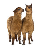 Two Alpacas looking at each other Stock Photos