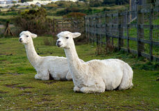 Two Alpacas lying down. Two Alpacas in a field. An alpaca resembles a small llama in appearance and their wool is used for making knitted and woven items such as Royalty Free Stock Images