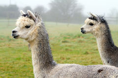 Two Alpacas in profile Stock Photos