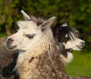 Two alpacas in profile with heads and faces looking in opposite directions Royalty Free Stock Images