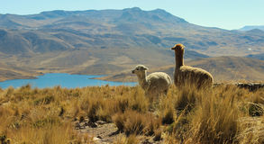 Alpacas on mountain top Royalty Free Stock Image