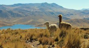 Alpacas on mountain top Royalty Free Stock Image