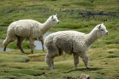 Two alpacas Stock Photography